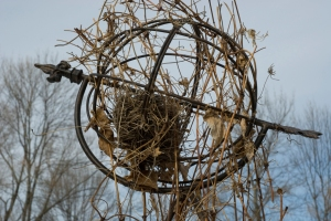 house-finch-nest-in-clemetis-lr