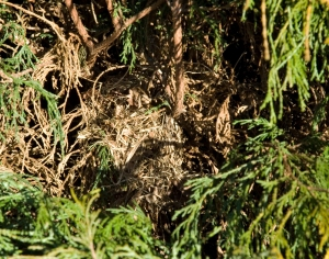 song-sparrow-nest-lr1