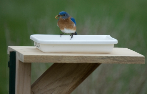 A Bluebird finally checks out what's for dinner!