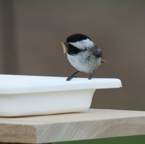 Chickadees are the first to use the feeder