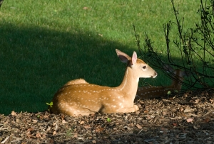 Fawn under serviceberry tree