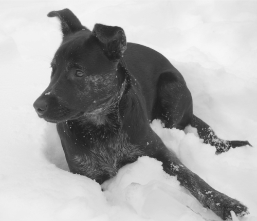 millie laying in snow BW-2 600p