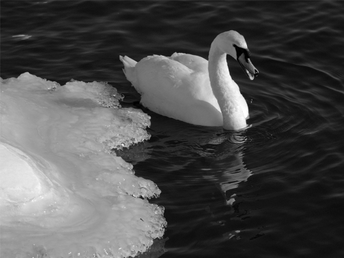 Swan and Ice 2