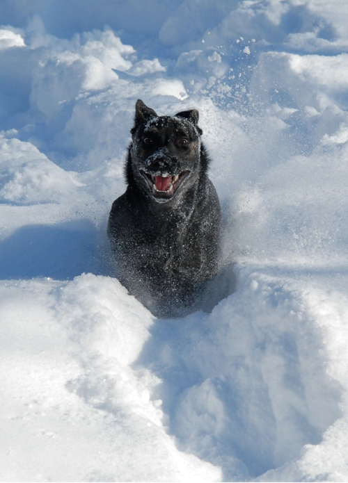 Millie - 1 - running in snow mouth open - 600