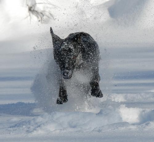 Millie - 2 - running in flying snow - 600