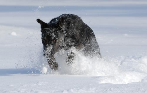 Millie - 3 - running in snow - 600