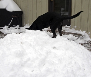 Millie - digging on snow pile