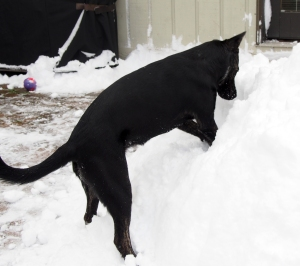 Millie - snow pile digging action