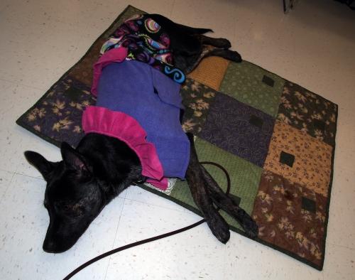 Millie - PQG visit - crashed on mat