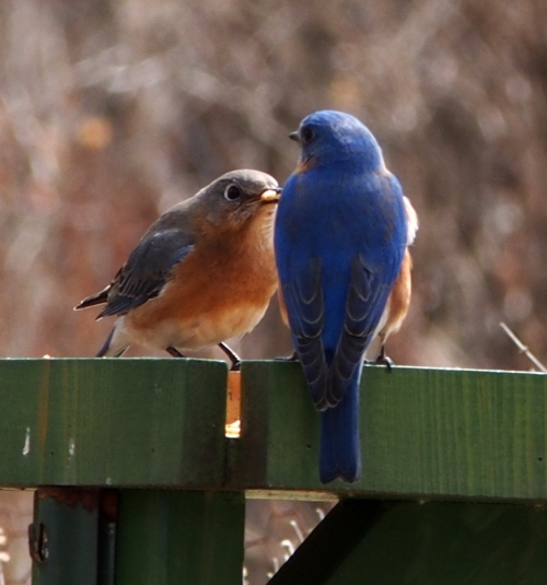 Mr and Mrs Bluebird at feeder