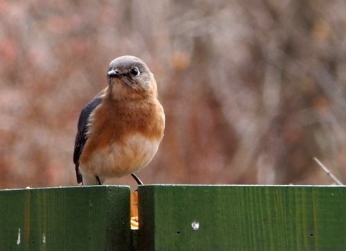 Mrs Bluebird at feeder