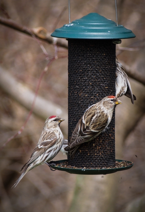 Redpolls at feeder 3