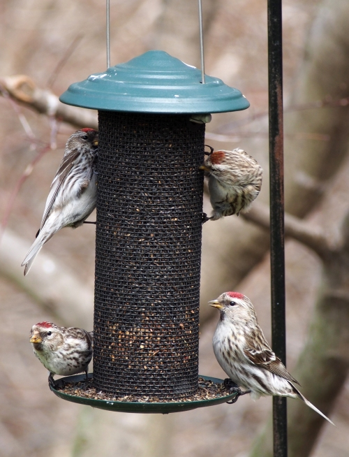 Redpolls at feeder 1
