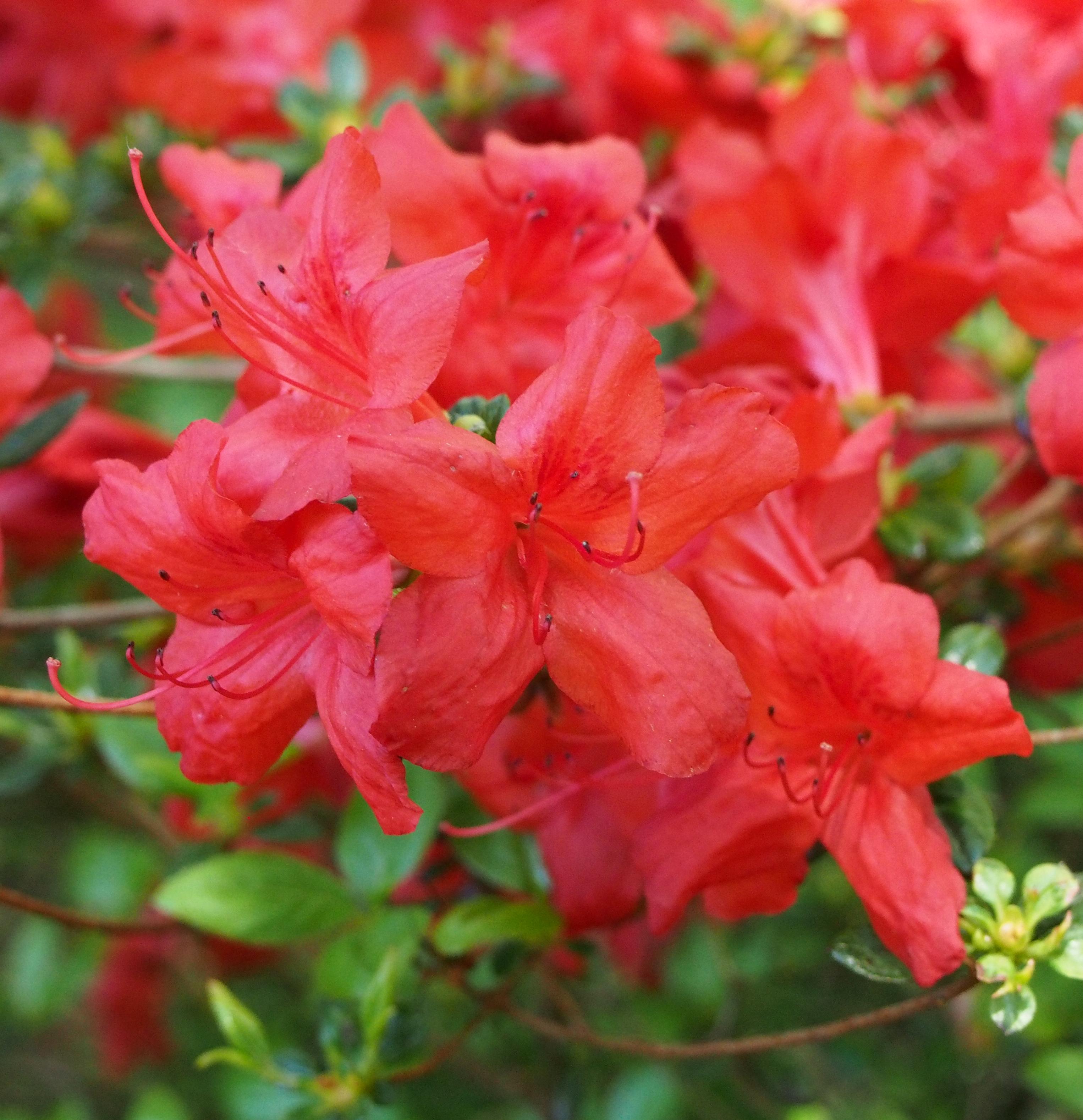 Flowers on friday azalea viburnum bird brains dog for The azalea