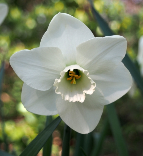 This daffodil is described as having a green center.