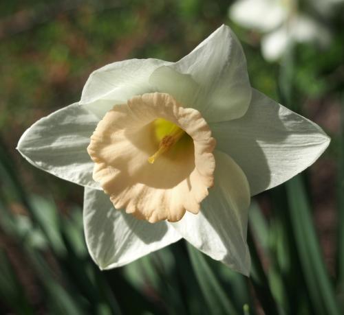 daffodil - peach center