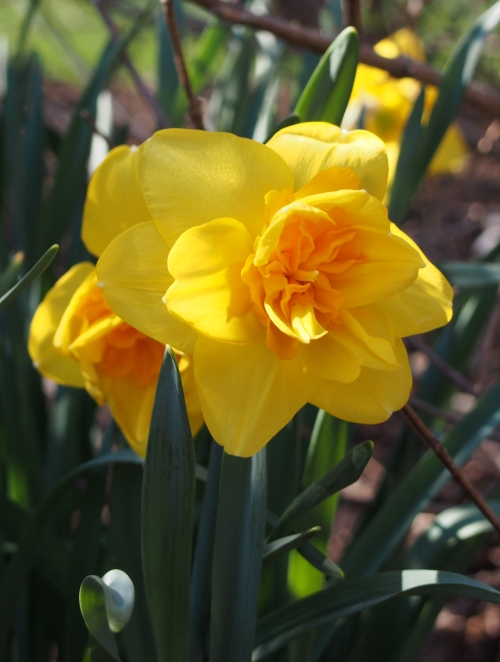 daffodil - yellow with dark yellow center