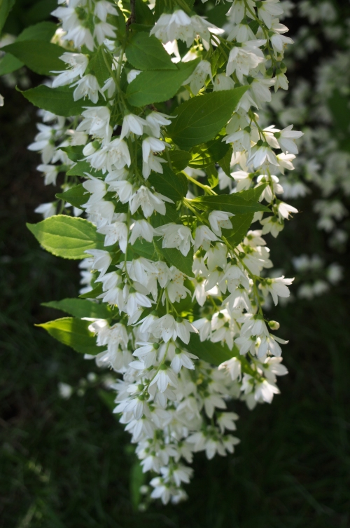 Deutzia blooms