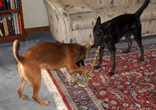 millie walter - playing tug - paw on rope