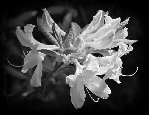 Deciduous Azalea Flowers