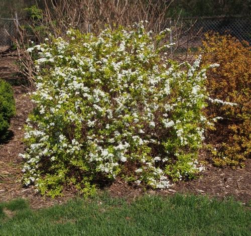 spirea - white flowers