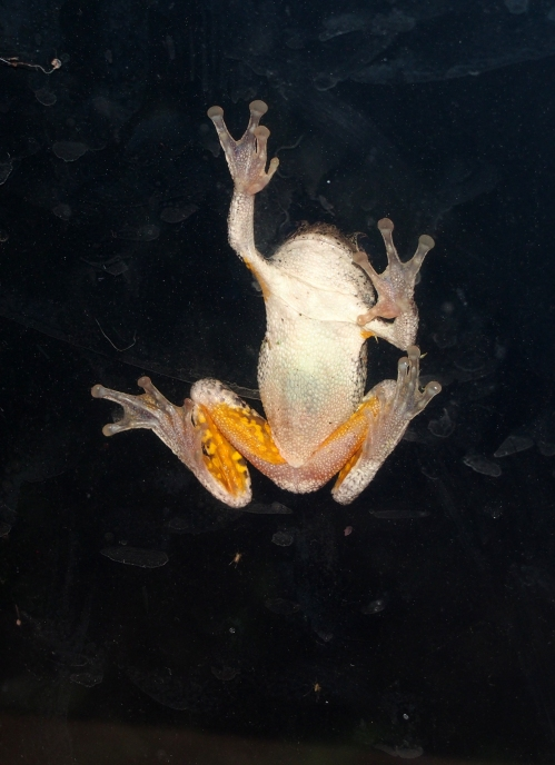 Frog on window