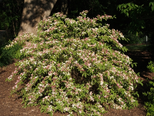Large Variegated Weigela in Bloom