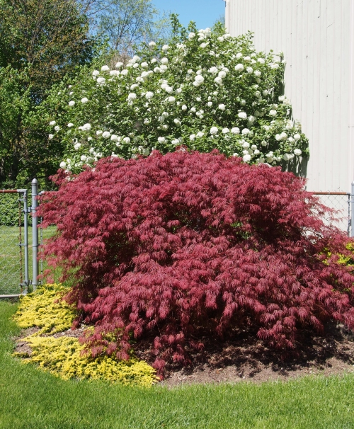 Korean Spice Viburnum & Japanese Maple