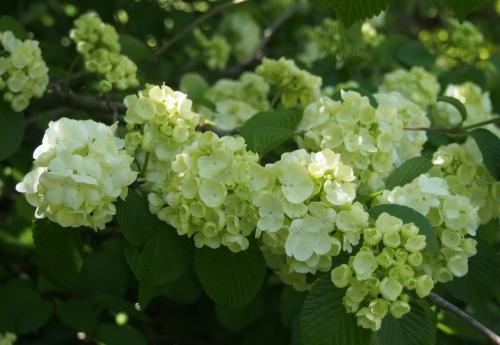 Popcorn Viburnum