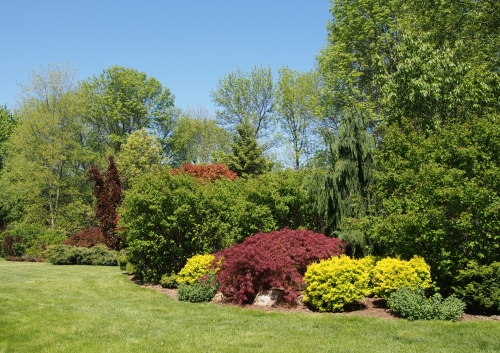 yard view - japanese maple - yellow barberry