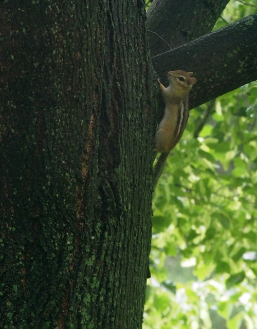 Chippy on linden tree