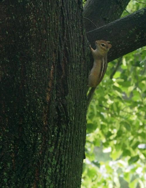 Chippy on linden tree