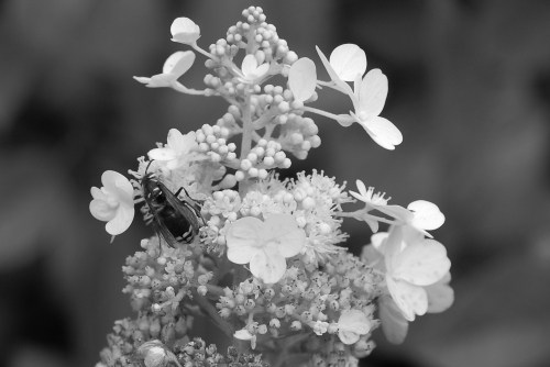 hydrangea and wasp BW