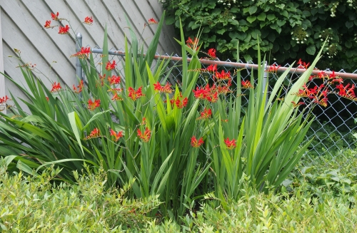 crocosmia - next to fence