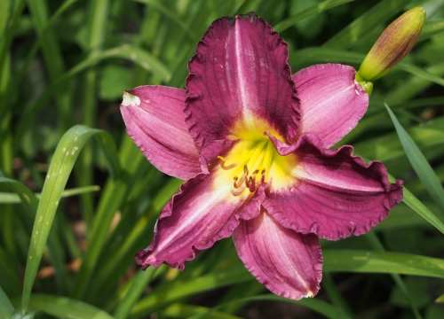 daylily - purple w yellow throat