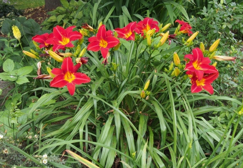 daylily - red w yellow throat group shot w poker