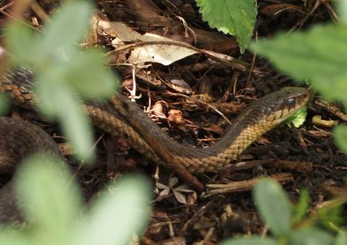 Garter snake - head
