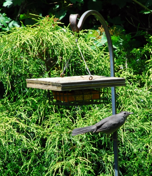 Gray Catbird Eyeing Suet