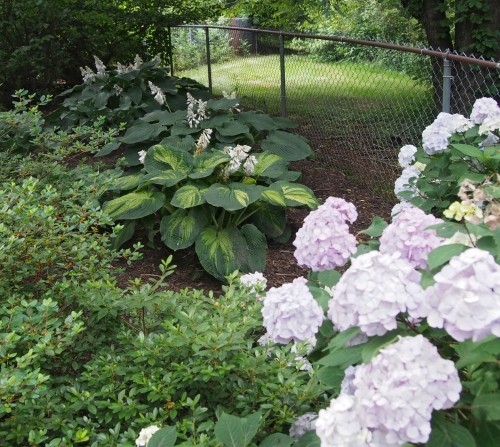 hosta and hydrangea - back corner