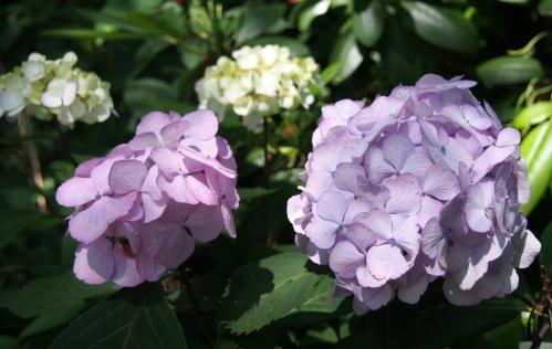 hydrangea - back corner - flowers