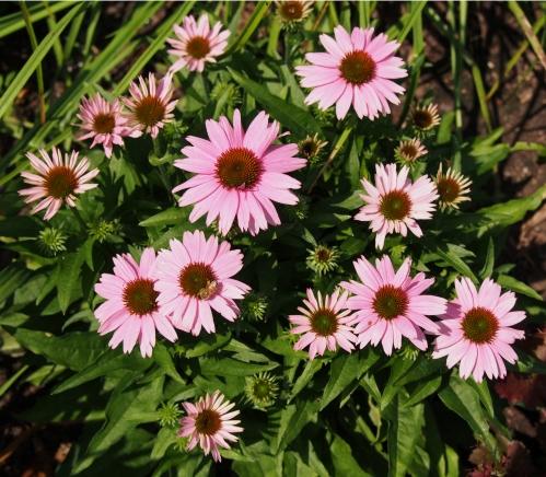 cone flower - pink
