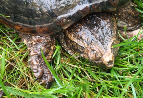 Snapping Turtle - close up of head and claw