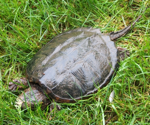 Snapping Turtle - full body