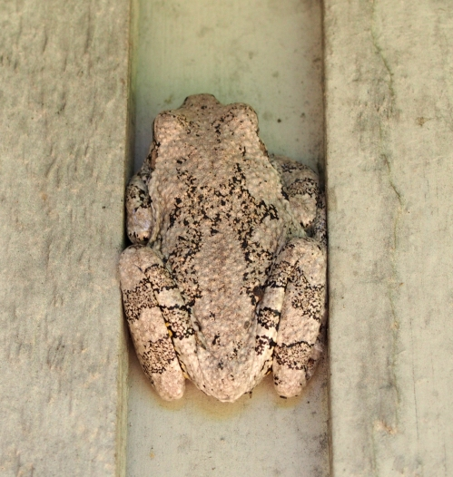 Tree Frog on House - close up