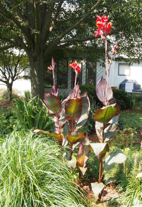 Tall Red Canna Lily