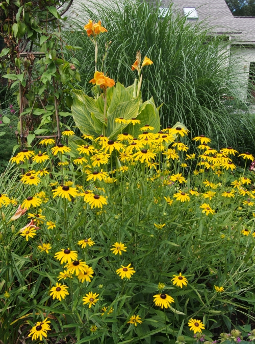 Black-eyed Susan and Canna Lily