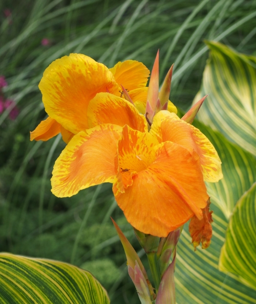 Yellow Canna Lily with Green Striped Leaves