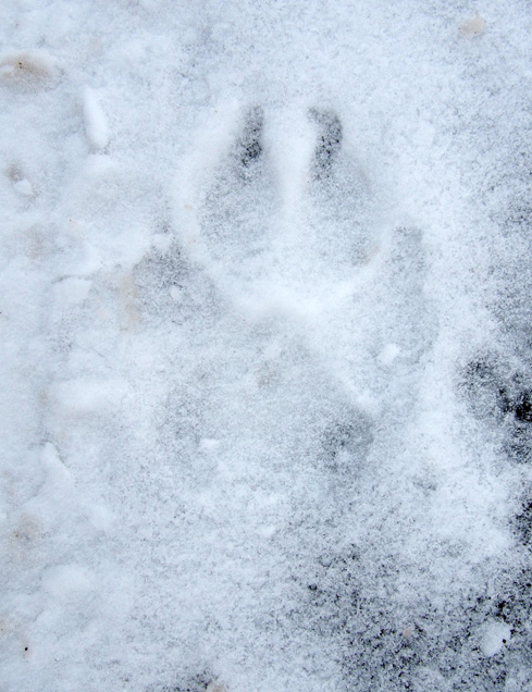 Paw print in snow