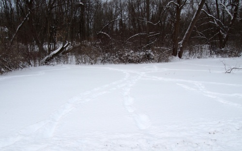 Bruno tracks in our front yard