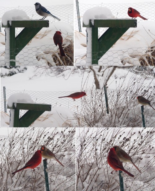 Mr. Cardinal waits his turn and then feeds his mate.